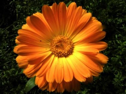 goudsbloem-165315.jpg